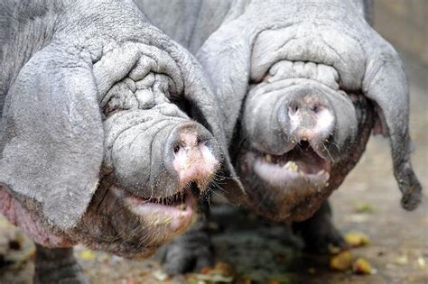 Now I want a pair of pet meishan pigs